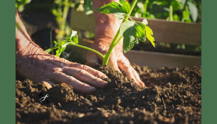 Comment planter des tomates